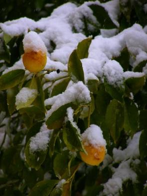Lemon trees at Easter Amman