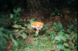 A fly agaric in the woods