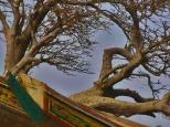Atlantic-blown trees